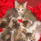 Los síntomas de Giardia en gatos