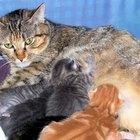 Curas para los pezones doloridos de las gatas en lactancia