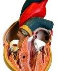 ¿Qué vasos sanguíneos irrigan el corazón?