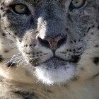 Características físicas y datos sobre el leopardo de las nieves en peligro de extinción