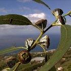 ¿Se puede colocar aceite de eucalipto en un humidificador?