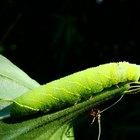 Cómo identificar orugas verdes grandes