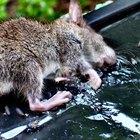 Cómo hacer trampas caseras para ratas con latas