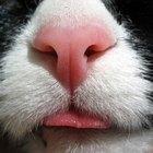 Heridas en la nariz de gatos