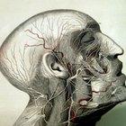 Cuáles son los tres tipos de vasos sanguíneos en el cuerpo humano