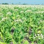 Cuánto tiempo requieren las plantas de tabaco para madurar