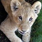 ¿Qué características tienen los leones para sobrevivir en la selva?