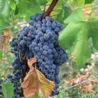The Best Grapes for Wine