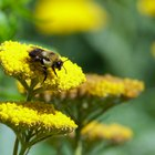 Cómo usan las flores su polen para atraer a las abejas