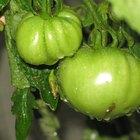 Insectos que se comen las hojas de las plantas de tomate