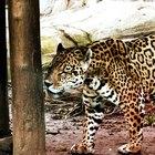 Informaciones sobre jaguares bebé