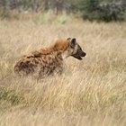 ¿Cuáles son los depredadores de los perros salvajes de África?