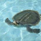 Proyectos para niños sobre el ciclo de vida de las tortugas marinas