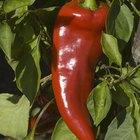 ¿Por qué la pimienta de cayena (cayenne pepper) es buena para ti?