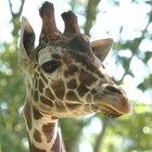 Adaptación de la jirafa