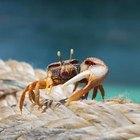 Cómo saber si un cangrejo ermitaño está muerto