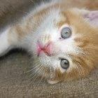 Itraconazol para el tratamiento de la tiña en gatos