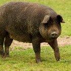 Cómo establecer un corral para cerdos