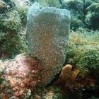 Cómo respiran las esponjas de mar
