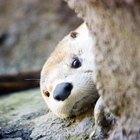 ¿Qué comen las nutrias marinas?