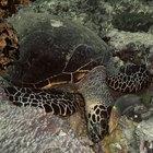 La adaptación de las tortugas