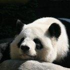 ¿Cómo se aparean los pandas?