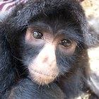Las diferencias entre los monos del viejo y del nuevo mundo