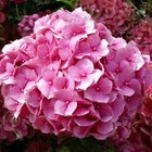 How to Care for Cut Hydrangeas for Weddings