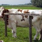 Datos sobre las vacas Ayrshire