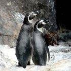 ¿Cómo alimentan los pingüinos a sus polluelos?