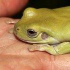 ¿Qué tipo de ranas son los renacuajos negros?