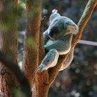 La información sobre el sistema reproductivo de un Oso Koala