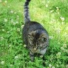 Por qué un gato estornuda con sangre al tener una infección respiratoria superior
