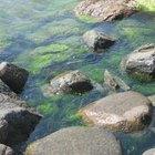 Efectos secundarios por el consumo de suplementos de alga marina