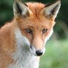 Llamadas del depredador: ¿cómo llamar a un zorro para que se acerque?