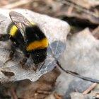 Qué hacer en caso de una picadura de una abeja en el ojo