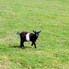 Remedios caseros para aliviar la diarrea en una cabra bebé