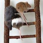 ¿Qué esencia repele a los ratones?