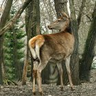Cómo curtir la piel de ciervo sin quitarle el cabello