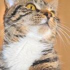 ¿Cómo dar una pequeña dosis de diazepam a un gato?