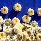 Beneficios del aceite esencial de manzanilla