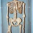 Cómo hacer un esqueleto para un proyecto de anatomía