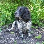 Indice elevado de eosinófilos en perros