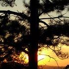 Efectos adversos del extracto de corteza de pino