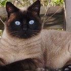 ¿Por qué un gato castrado macho sigue rociando?
