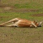 ¿Cuál es el ciclo de vida del canguro?
