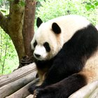 ¿Dónde vive el panda gigante?