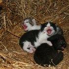 ¿Por qué los gatitos bebés son panzones?
