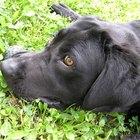 Infección del párpado en el perro