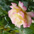 La mejor época del año para trasplantar un rosal